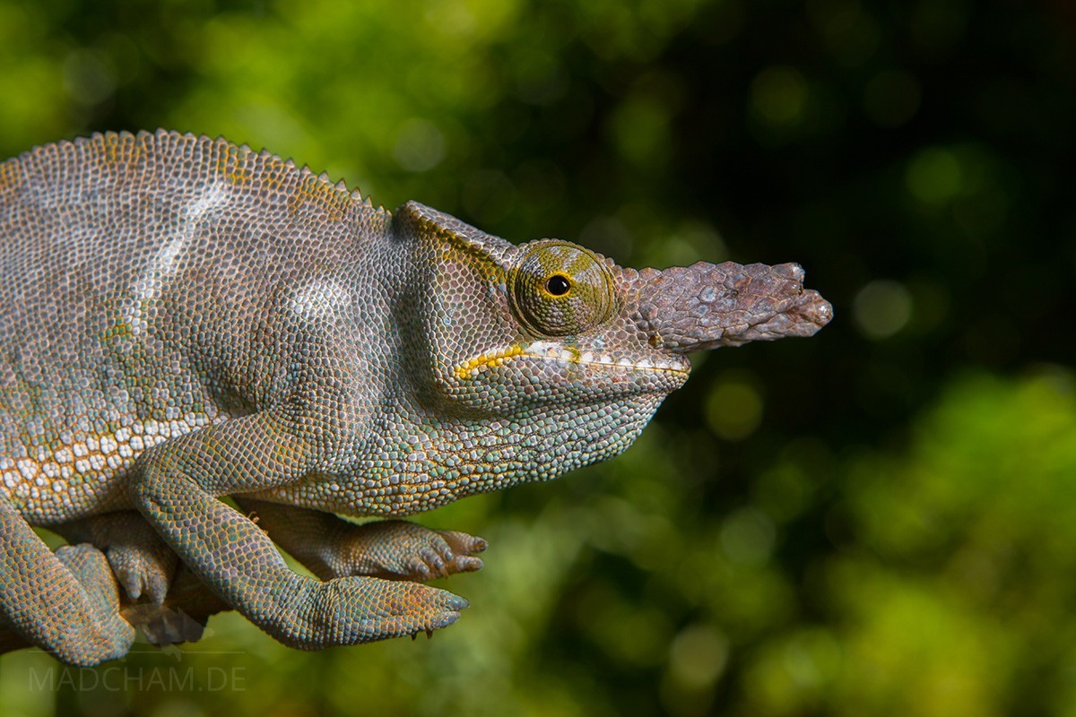 Furcifer bifidus in Vavatenina 2018 (1)