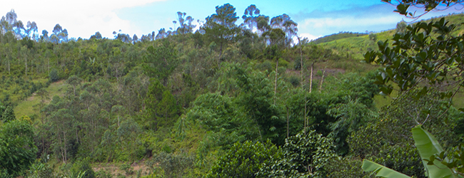 Habitat Furcifer bifidus