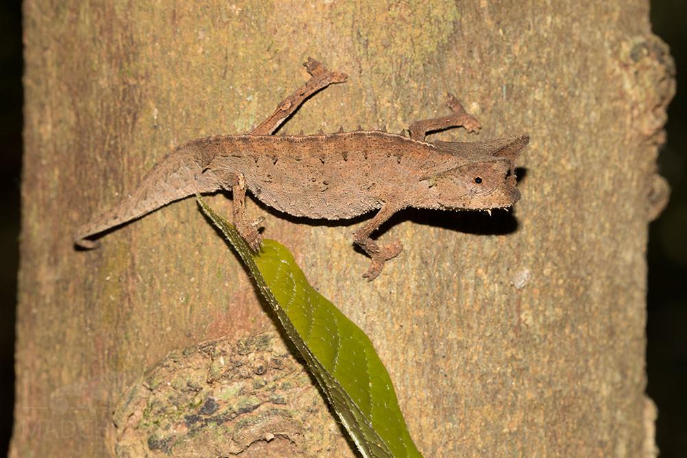 Brookesia superciliaris aus Mitsinjo am Baumstamm