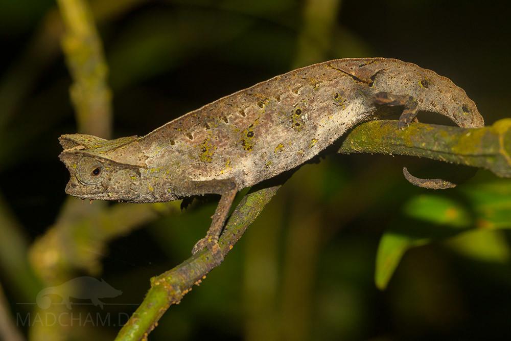 Brookesia superciliaris aus Ranomafana