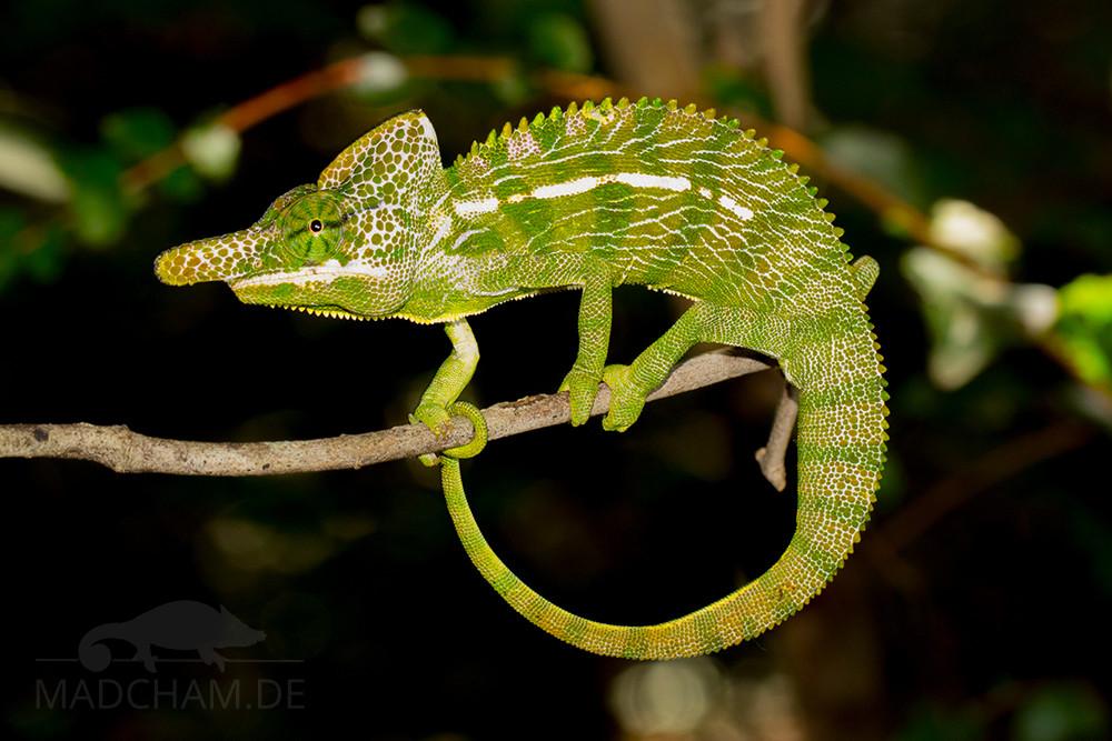 Furcifer labordi Männchen
