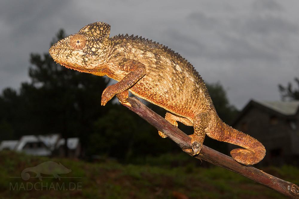 Furcifer oustaleti in Antsirabe 2017