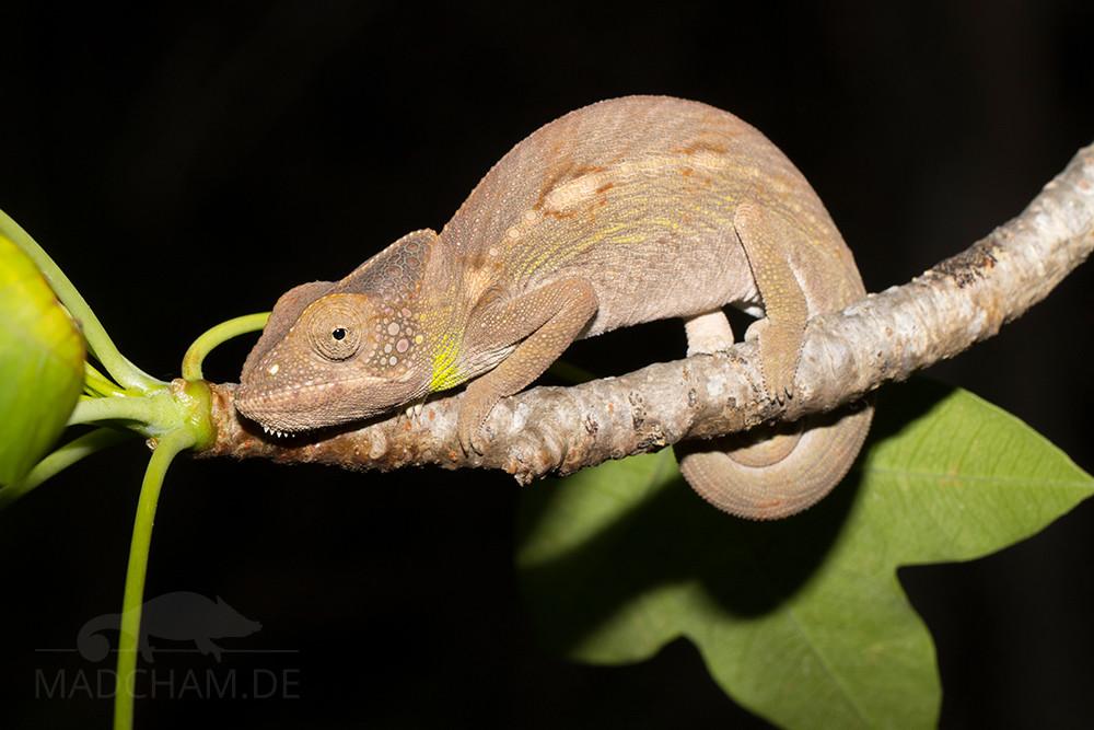 Furcifer verrucosus in Antsokay 2017