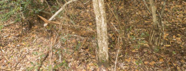 Kirindy Habitat Brookesia brygooi