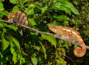 Calumma crypticum Paarung Weibchen droht