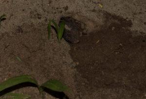 Furcifer pardalis Diego Suarez Eiablage (1)