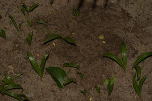 Furcifer pardalis Diego Suarez Eiablage (2)