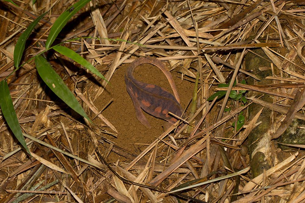 Furcifer pardalis Marojejy Eiablage (4)