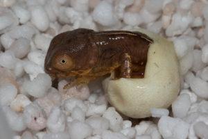 Schlupf geöffnetes Ei mit Jungtier