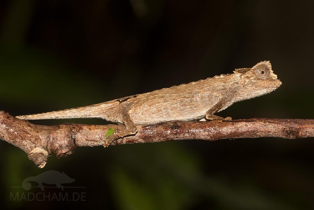 Brookesia ambreensis/antakarana im Licht einer Taschenlampe