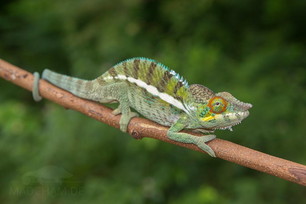 Farbwechsel Ankify Furcifer pardalis juvenil
