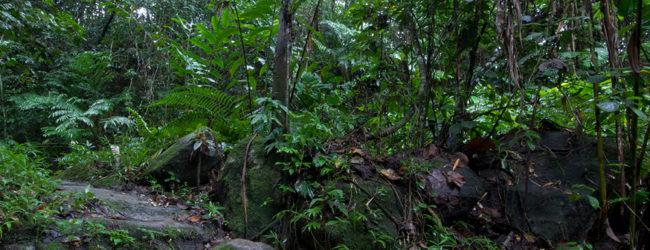 Habitat Brookesia tedi in Marojejy
