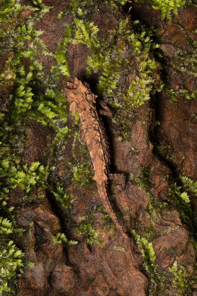 Brookesia ebenaui im Montagne d'Ambre, 2019