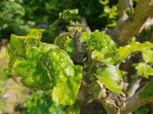 Pflanzenschädlinge (3) Blattläuse