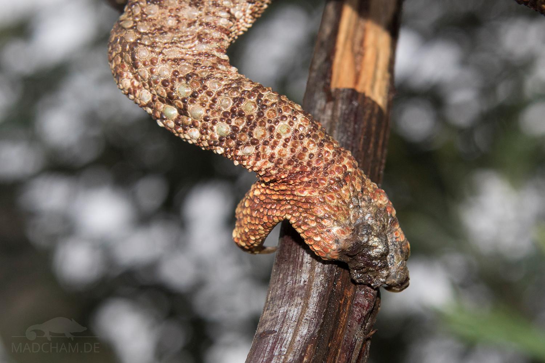 Pododermatitis Furcifer oustaleti Antsirabe