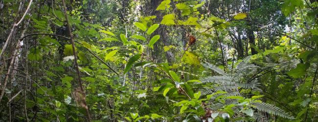 Calumma roaloko Habitat Vohidrazana (1)