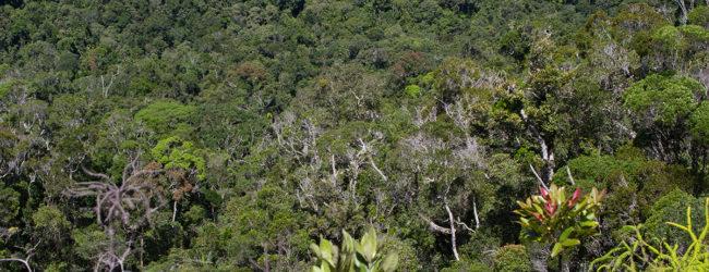 Calumma roaloko Habitat Vohidrazana (2)