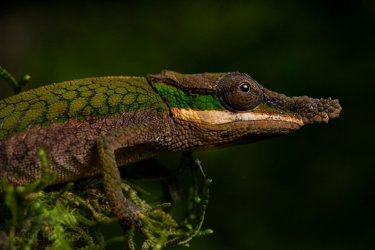 Calumma roaloko male 2019 (3)