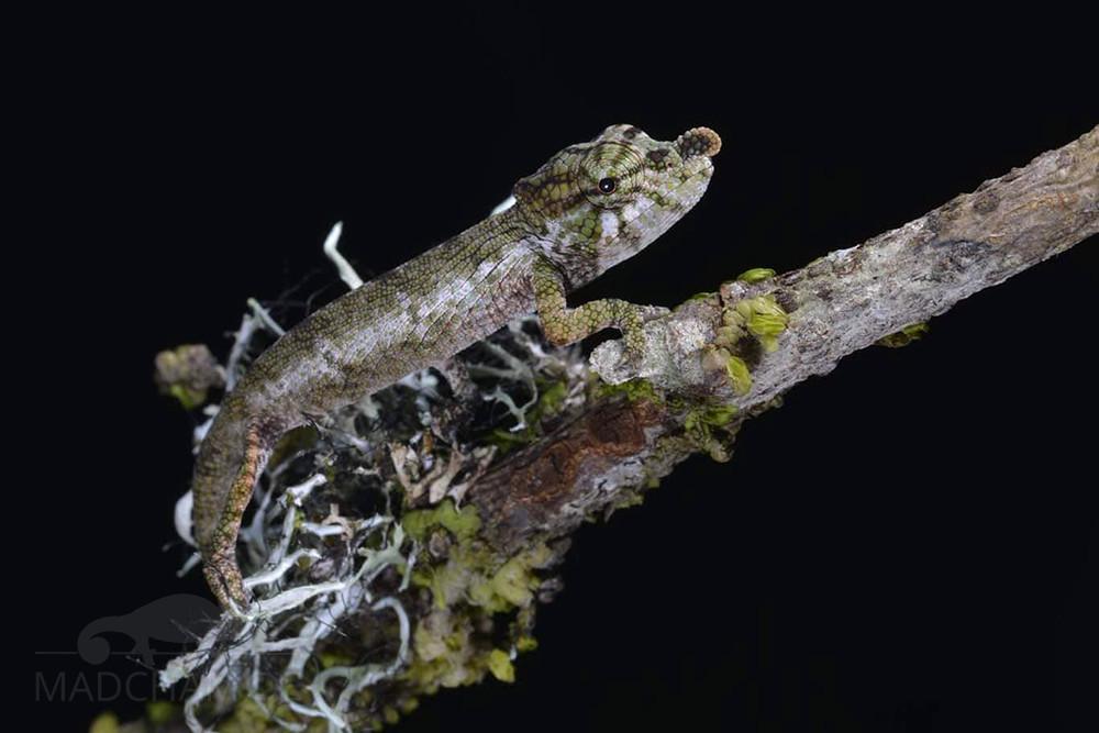 Calumma emelinae juvenile, Moramanga, 2020