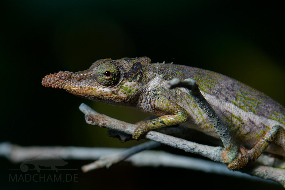 Calumma emelinae, male, 2018