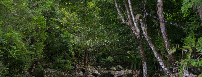 Habitat Calumma radamanus Masoala